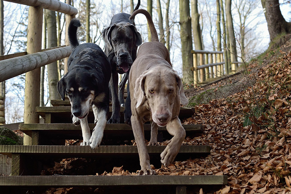 three-dogs-2975649_1280